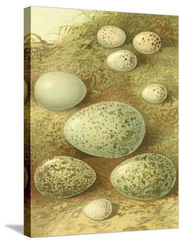 Bird Egg Collection II-Vision Studio-Stretched Canvas Print