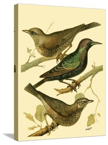 Domestic Bird Family IV-W^ Rutledge-Stretched Canvas Print