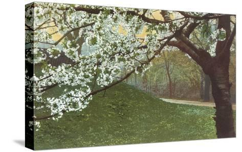 Cherry Blossoms by Grassy Hill--Stretched Canvas Print