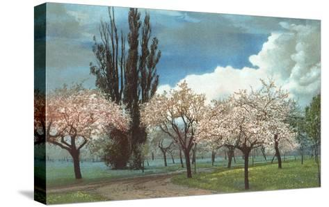Peach Blossoms, Country Lane--Stretched Canvas Print