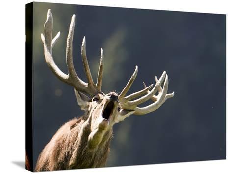 Rutting Stag Bellows in a Wildlife Park in Aurach, Austria--Stretched Canvas Print