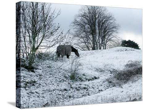 Horse Grazes on a Snow Covered Field in Bearsted in Kent, England--Stretched Canvas Print