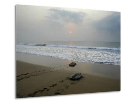 Olive Ridley Turtles Return to the Bay of Bengal Sea after Laying Eggs on Gokhurkuda Beach, India--Metal Print
