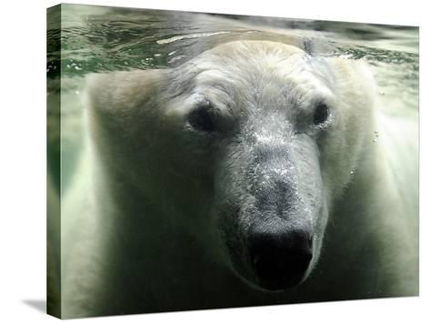 Polar Bear is Pictured under Water at the Zoo in Gelsenkirchen--Stretched Canvas Print