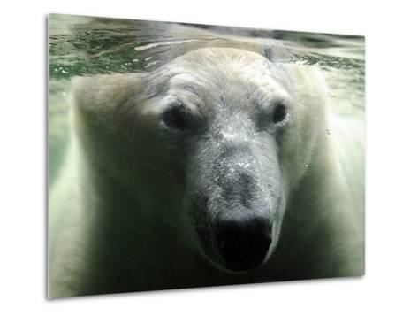 Polar Bear is Pictured under Water at the Zoo in Gelsenkirchen--Metal Print