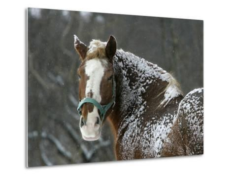 Workhorse Braves the Snow and Falling Temperatures at a Farm in Bainbridge Township, Ohio--Metal Print