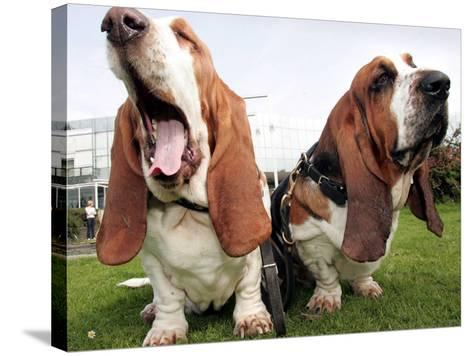 Bassethounds Pose in Dortmund, Germany--Stretched Canvas Print