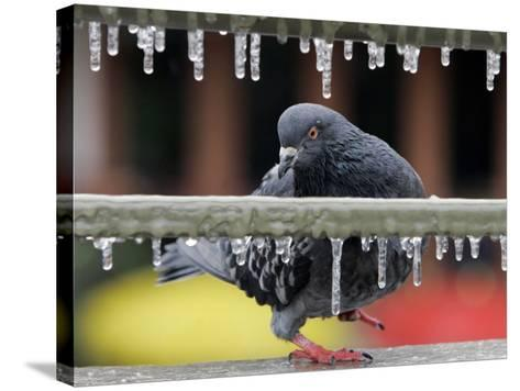 Pigeon Slides Along the Ice in Downtown San Antonio,--Stretched Canvas Print