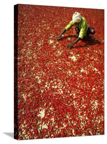 Villager Dries Red Chilies at Rambha, India--Stretched Canvas Print