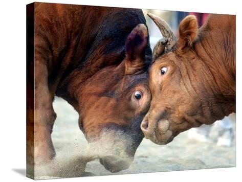 Two South Korean Bulls Lock Horns in the 2005 Bullfighting Festival in Seoul, South Korea--Stretched Canvas Print