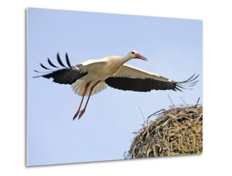 Stork Approaches its Nest in Holzen--Metal Print