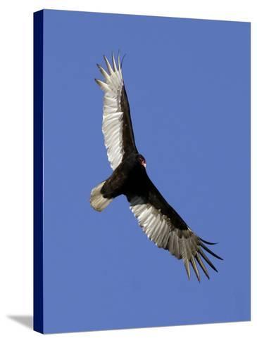 Turkey Vulture Soars Against a Cloudless Sky in Carmel--Stretched Canvas Print
