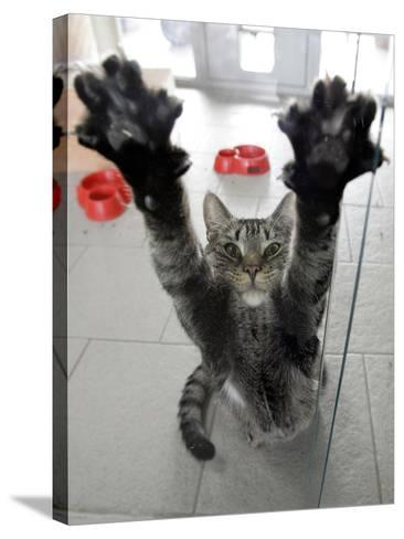 Cat Stretches on a Glass Door in the Animal Shelter in Berlin--Stretched Canvas Print