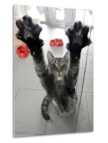 Cat Stretches on a Glass Door in the Animal Shelter in Berlin--Metal Print