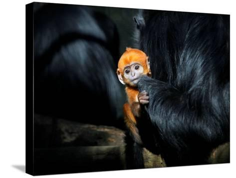 Male Francois' Leaf Monkey Relaxes with His Parents at the Zoological Gardens Zoorasia in Yokohama--Stretched Canvas Print