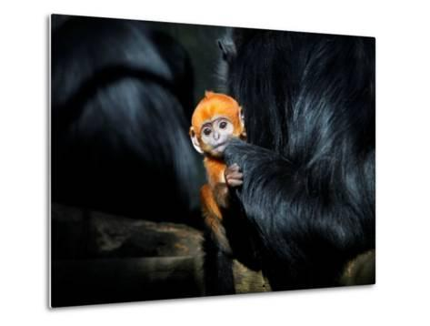 Male Francois' Leaf Monkey Relaxes with His Parents at the Zoological Gardens Zoorasia in Yokohama--Metal Print