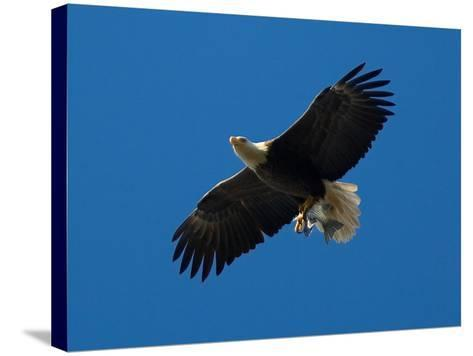 Bald Eagle Carries a Fish in its Talons over New York Citys Central Park--Stretched Canvas Print