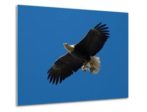 Bald Eagle Carries a Fish in its Talons over New York Citys Central Park--Metal Print