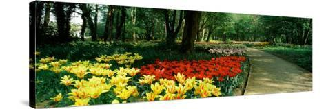Tulips in a Garden, Springfields Garden, Lincolnshire, England--Stretched Canvas Print