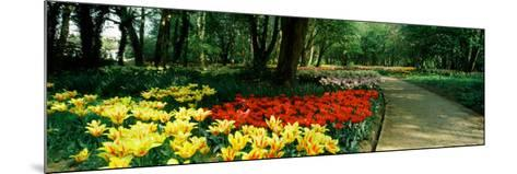 Tulips in a Garden, Springfields Garden, Lincolnshire, England--Mounted Photographic Print