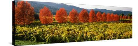 Crop in a Vineyard, Napa Valley, California, USA--Stretched Canvas Print