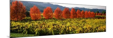 Crop in a Vineyard, Napa Valley, California, USA--Mounted Photographic Print