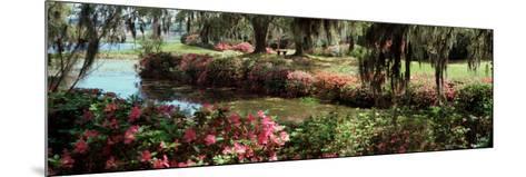 Azaleas and Willow Trees in a Park, Charleston, Charleston County, South Carolina, USA--Mounted Photographic Print