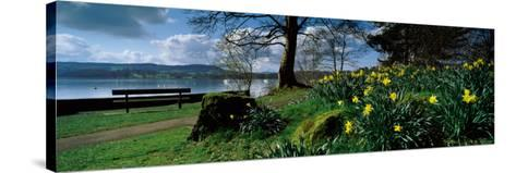 Daffodils at the Lakeside, Lake Windermere, English Lake District, Cumbria, England--Stretched Canvas Print