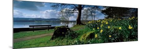 Daffodils at the Lakeside, Lake Windermere, English Lake District, Cumbria, England--Mounted Photographic Print
