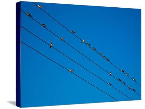 Swallows in Autumn Prior to Migration, Fethard, County Tipperary, Ireland--Stretched Canvas Print
