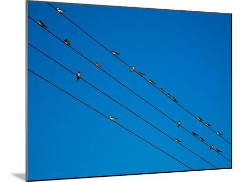 Swallows in Autumn Prior to Migration, Fethard, County Tipperary, Ireland--Mounted Photographic Print