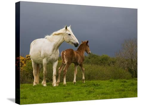 Mare and Foal, Co Derry, Ireland--Stretched Canvas Print