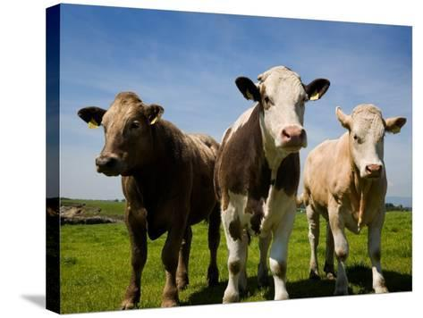 Cattle, County Waterford, Ireland--Stretched Canvas Print