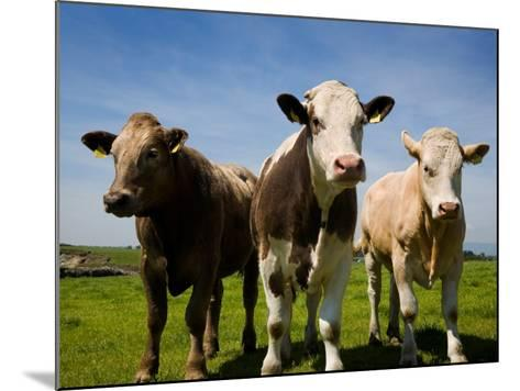 Cattle, County Waterford, Ireland--Mounted Photographic Print