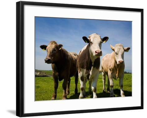 Cattle, County Waterford, Ireland--Framed Art Print