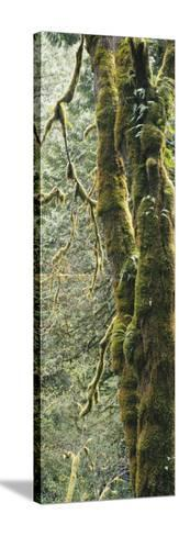 Mossy Tree Trunk, Olympic National Forest, Olympic National Park, Washington, USA-Paul Souders-Stretched Canvas Print