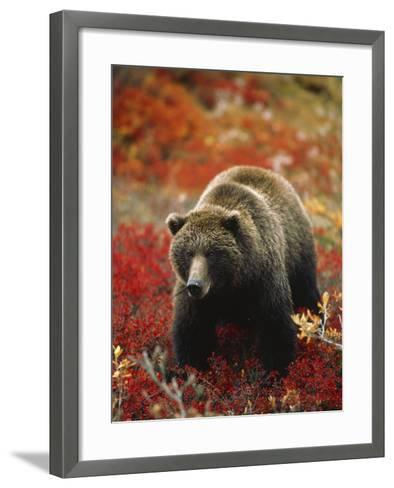 Grizzly Bear Standing Amongst Alpine Blueberries, Denali National Park, Alaska, USA-Hugh Rose-Framed Art Print