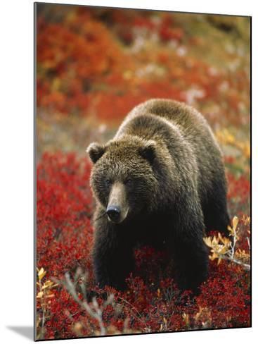 Grizzly Bear Standing Amongst Alpine Blueberries, Denali National Park, Alaska, USA-Hugh Rose-Mounted Photographic Print