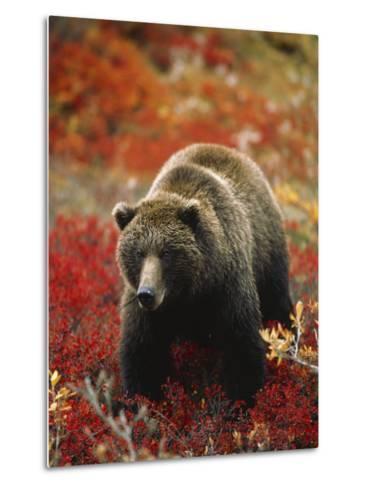 Grizzly Bear Standing Amongst Alpine Blueberries, Denali National Park, Alaska, USA-Hugh Rose-Metal Print