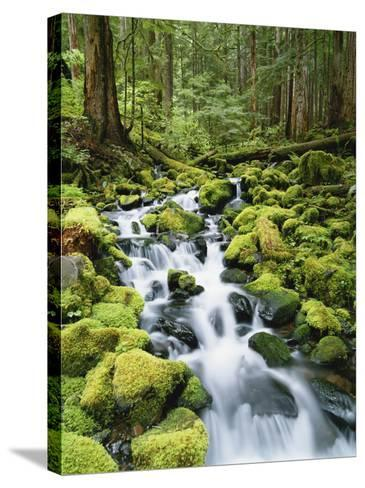 View of Creek in Old Growth Rainforest, Olympic National Park, Washington, USA-Stuart Westmoreland-Stretched Canvas Print