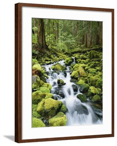 View of Creek in Old Growth Rainforest, Olympic National Park, Washington, USA-Stuart Westmoreland-Framed Art Print