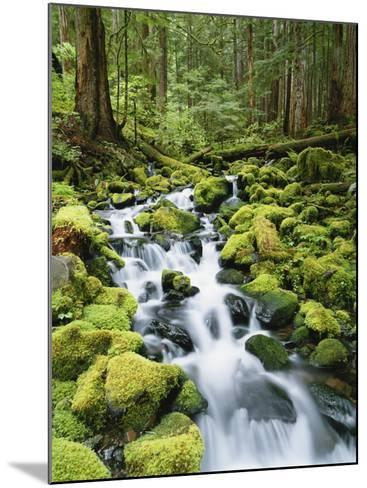 View of Creek in Old Growth Rainforest, Olympic National Park, Washington, USA-Stuart Westmoreland-Mounted Photographic Print