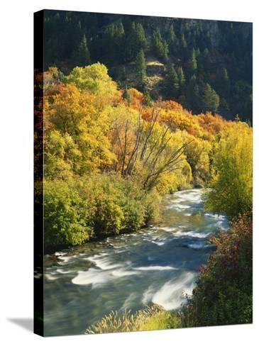 Maples and Birches Along Blacksmith Fork River, Wasatch-Cache National Forest, Utah, USA-Scott T^ Smith-Stretched Canvas Print
