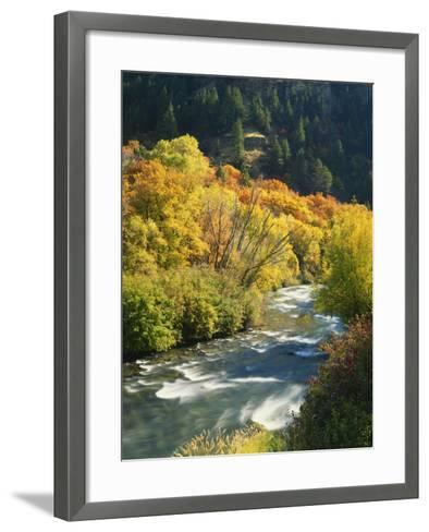 Maples and Birches Along Blacksmith Fork River, Wasatch-Cache National Forest, Utah, USA-Scott T^ Smith-Framed Art Print