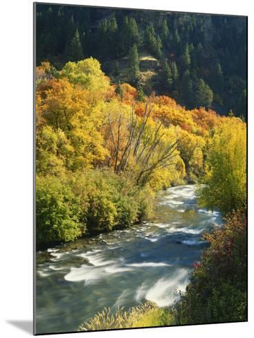 Maples and Birches Along Blacksmith Fork River, Wasatch-Cache National Forest, Utah, USA-Scott T^ Smith-Mounted Photographic Print
