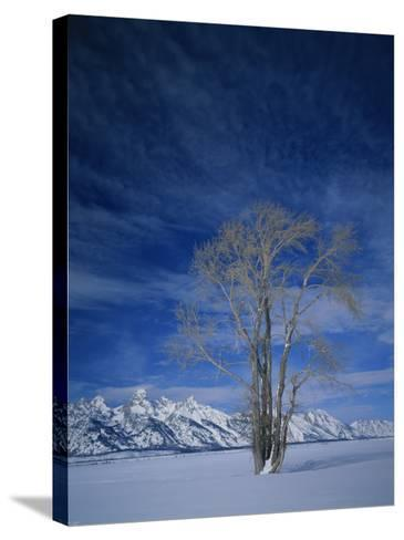 Bare Tree in Snowy Landscape, Grand Teton National Park, Wyoming, USA-Scott T^ Smith-Stretched Canvas Print