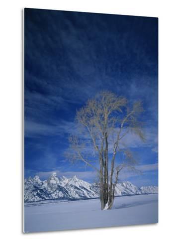 Bare Tree in Snowy Landscape, Grand Teton National Park, Wyoming, USA-Scott T^ Smith-Metal Print