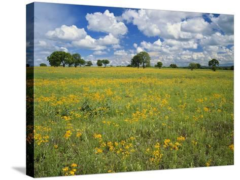 Field of Flowers and Trees with Cloudy Sky, Texas Hill Country, Texas, USA-Adam Jones-Stretched Canvas Print