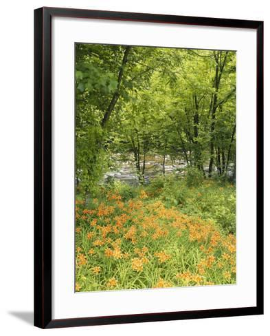 Day Lily Flowers Growing Along Little Pigeon River, Great Smoky Mountains National Park, Tennessee-Adam Jones-Framed Art Print