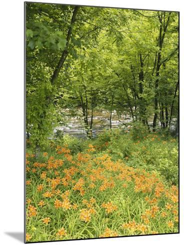 Day Lily Flowers Growing Along Little Pigeon River, Great Smoky Mountains National Park, Tennessee-Adam Jones-Mounted Photographic Print
